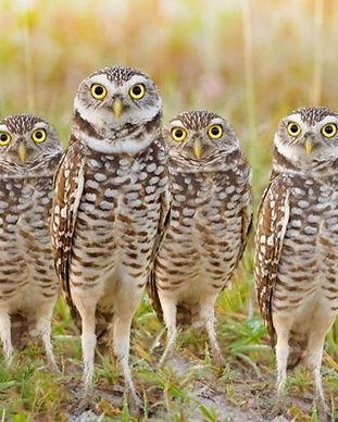 burrowing owls high res.jpeg