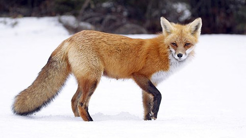 Finding the Foxes: One of the most endangered animals in North America