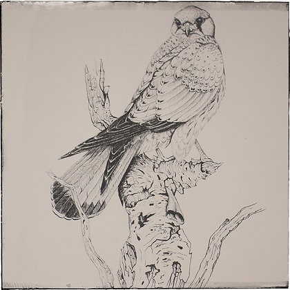 Kestrel ink study by Andrew Willis