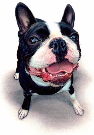 french bull dog pencil portrait