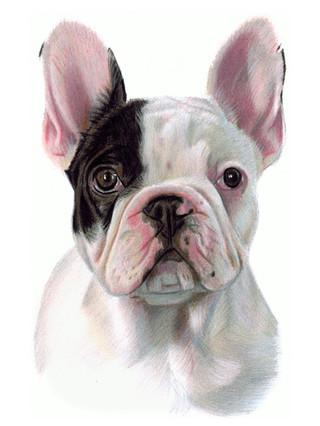 Manny the French Bull Dog portrait