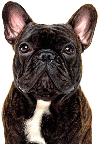 french bull dog portrait