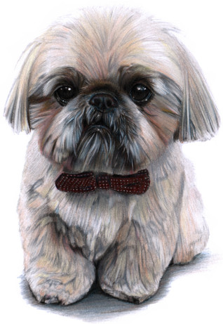 Dougie the Shih Tzu Portrait