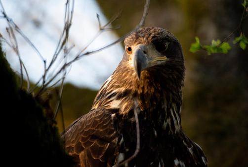500mm Hawk