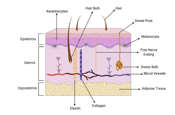 The skin's epidermis, dermis and hypodermis labelled
