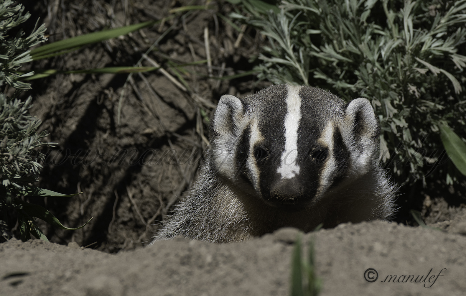 American Badger  015
