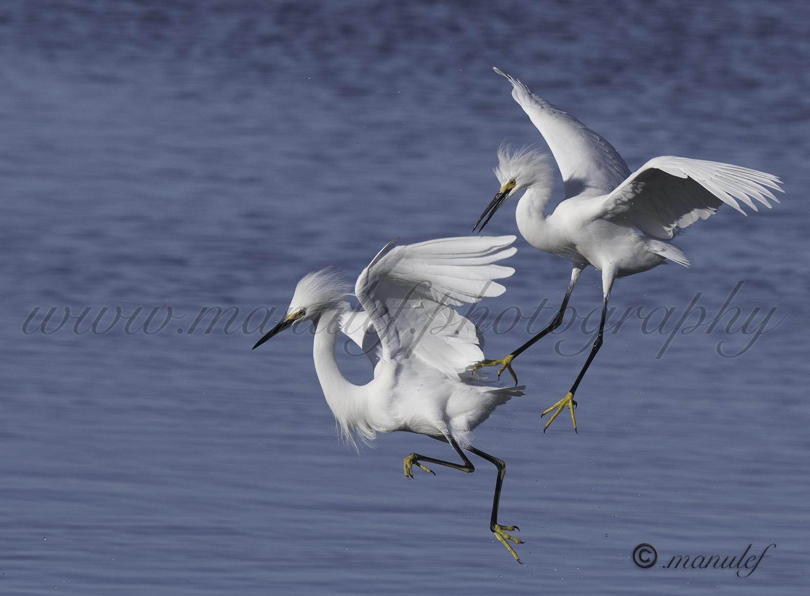 Snowy Egret  080