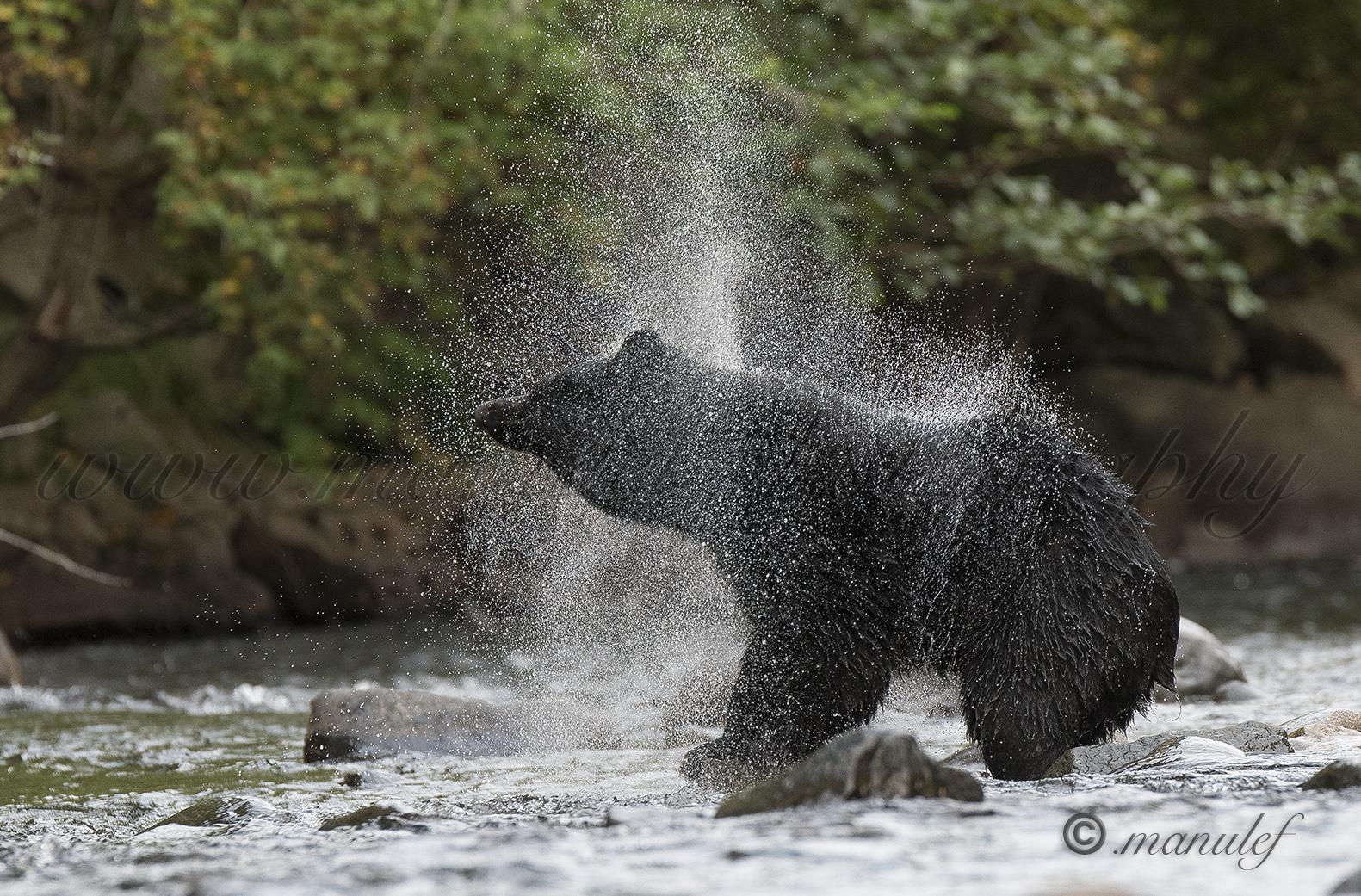 Black Bear  006