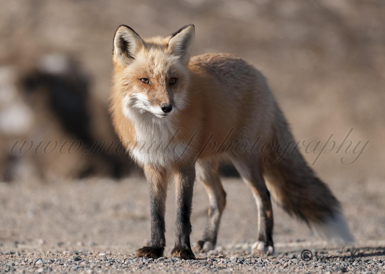 Red Fox  007