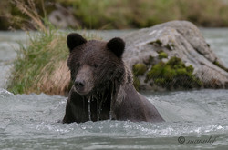 Brown Bear ( Grizzly )  020