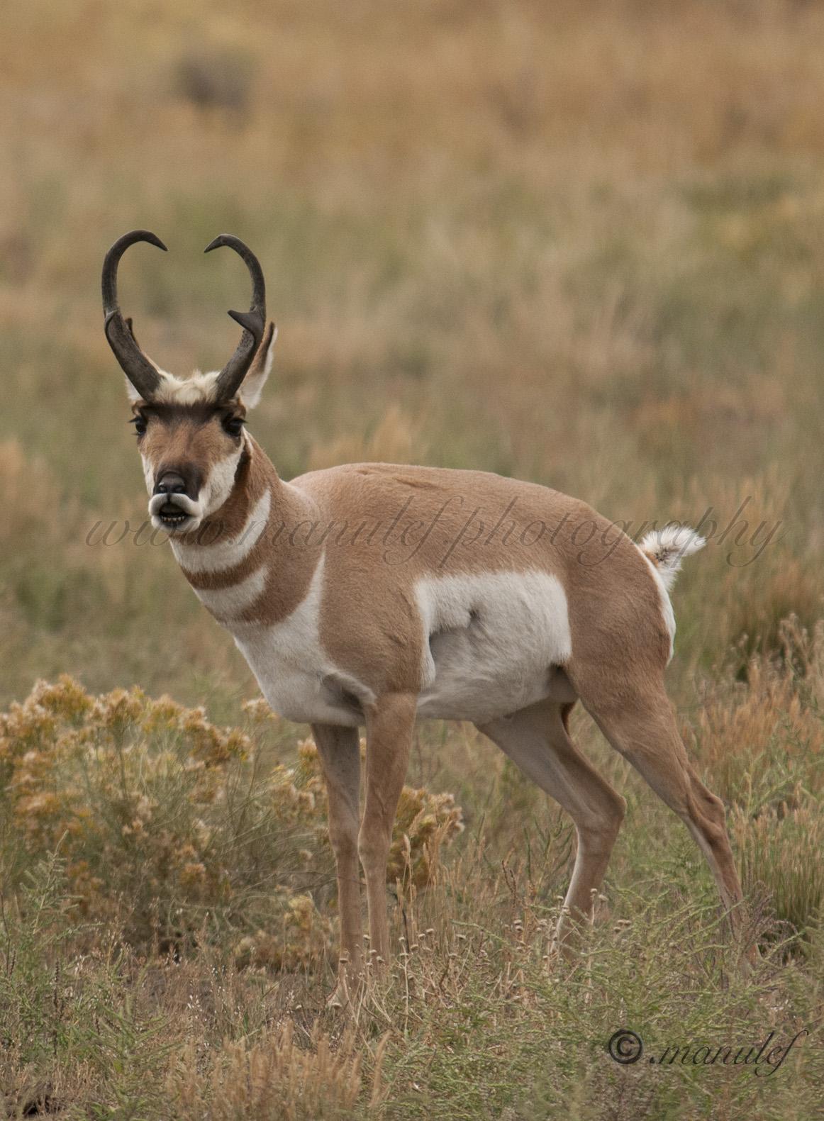 Pronghorn Antelope  006