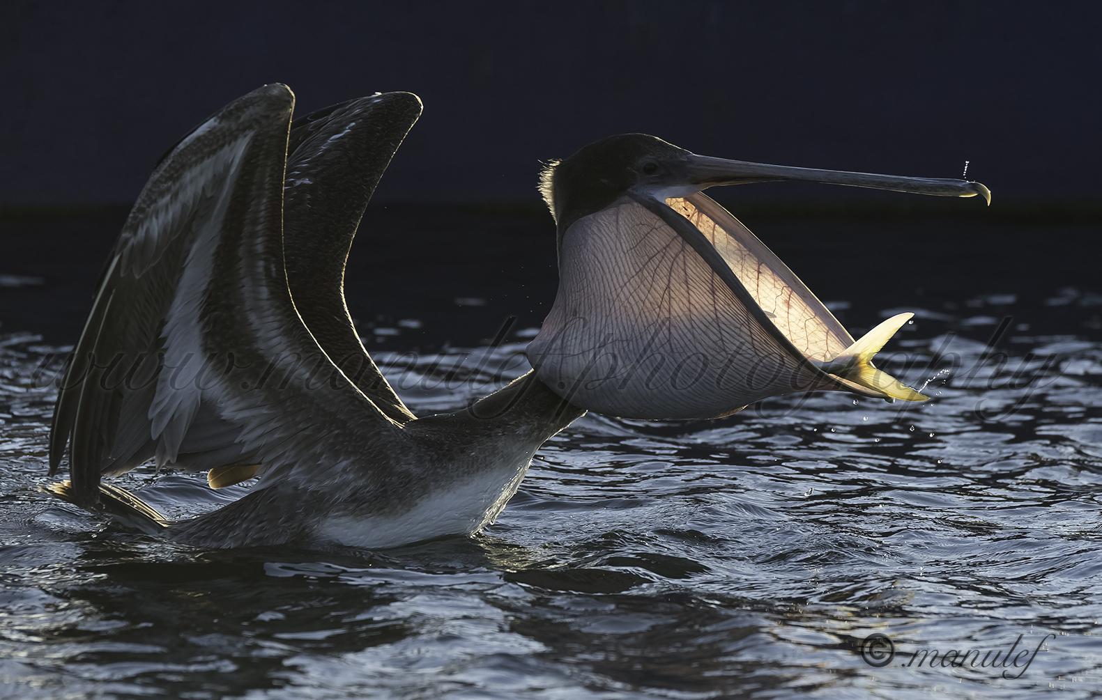 Brown Pelican  075