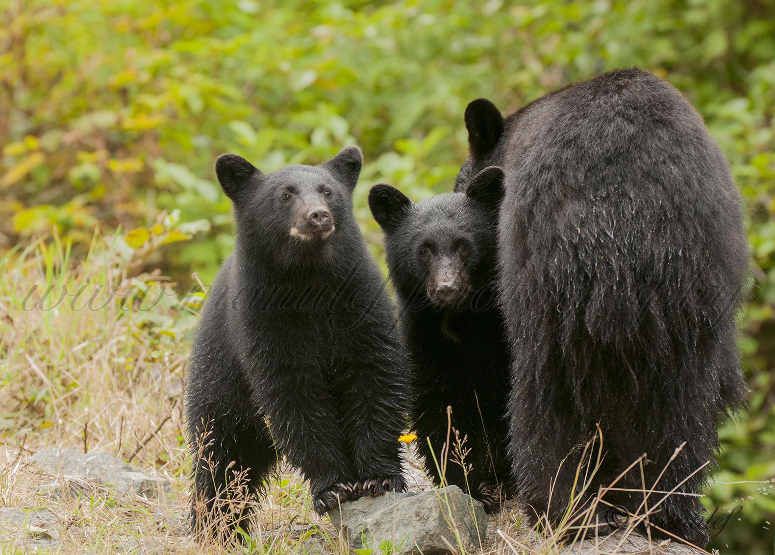 Black Bear  009