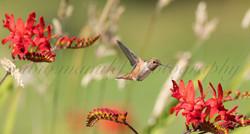 Allen's Hummingbird  001