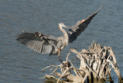 Great Heron  030