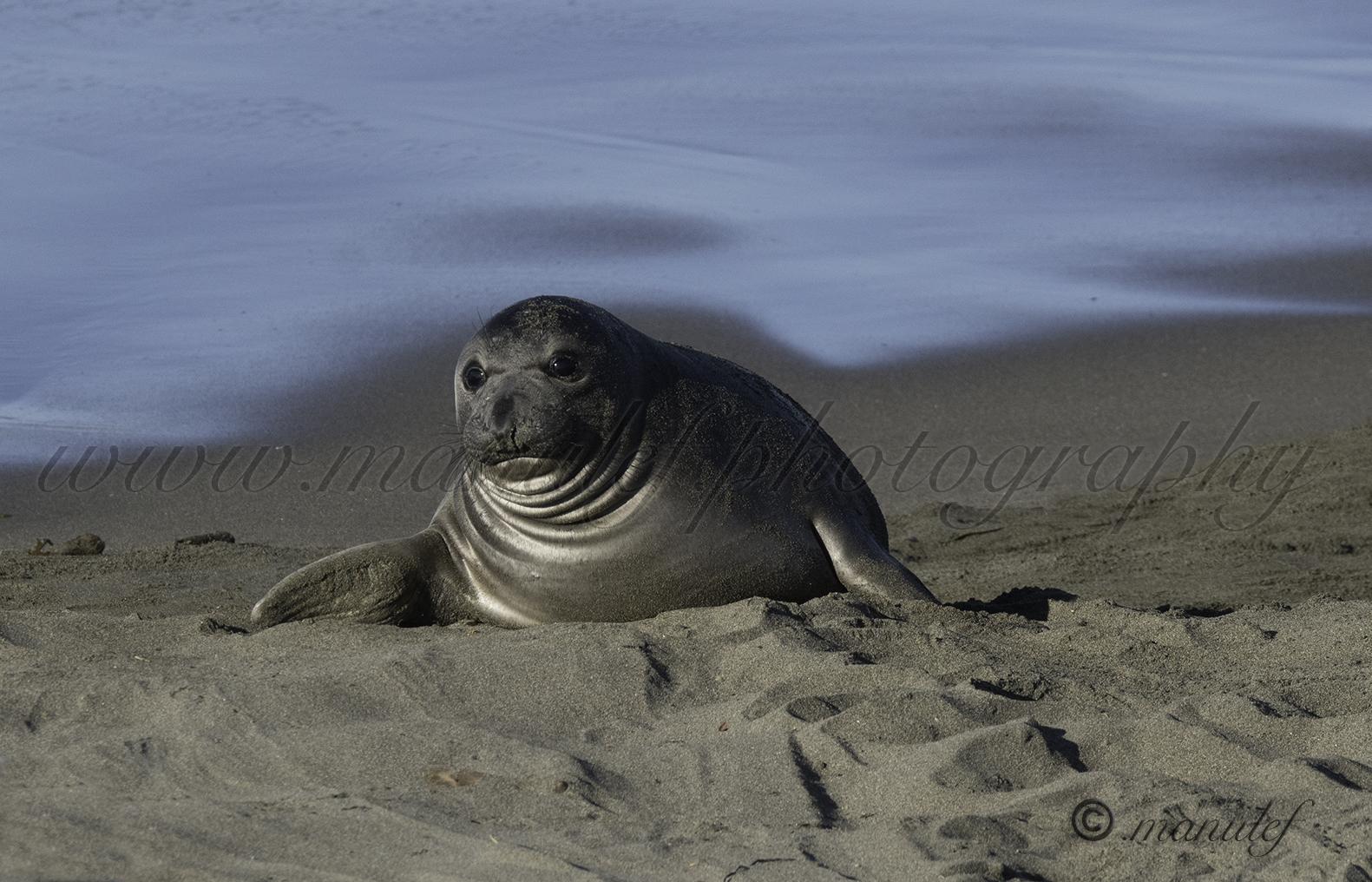 Elephant Seal  008