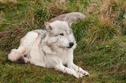 Wolf  009