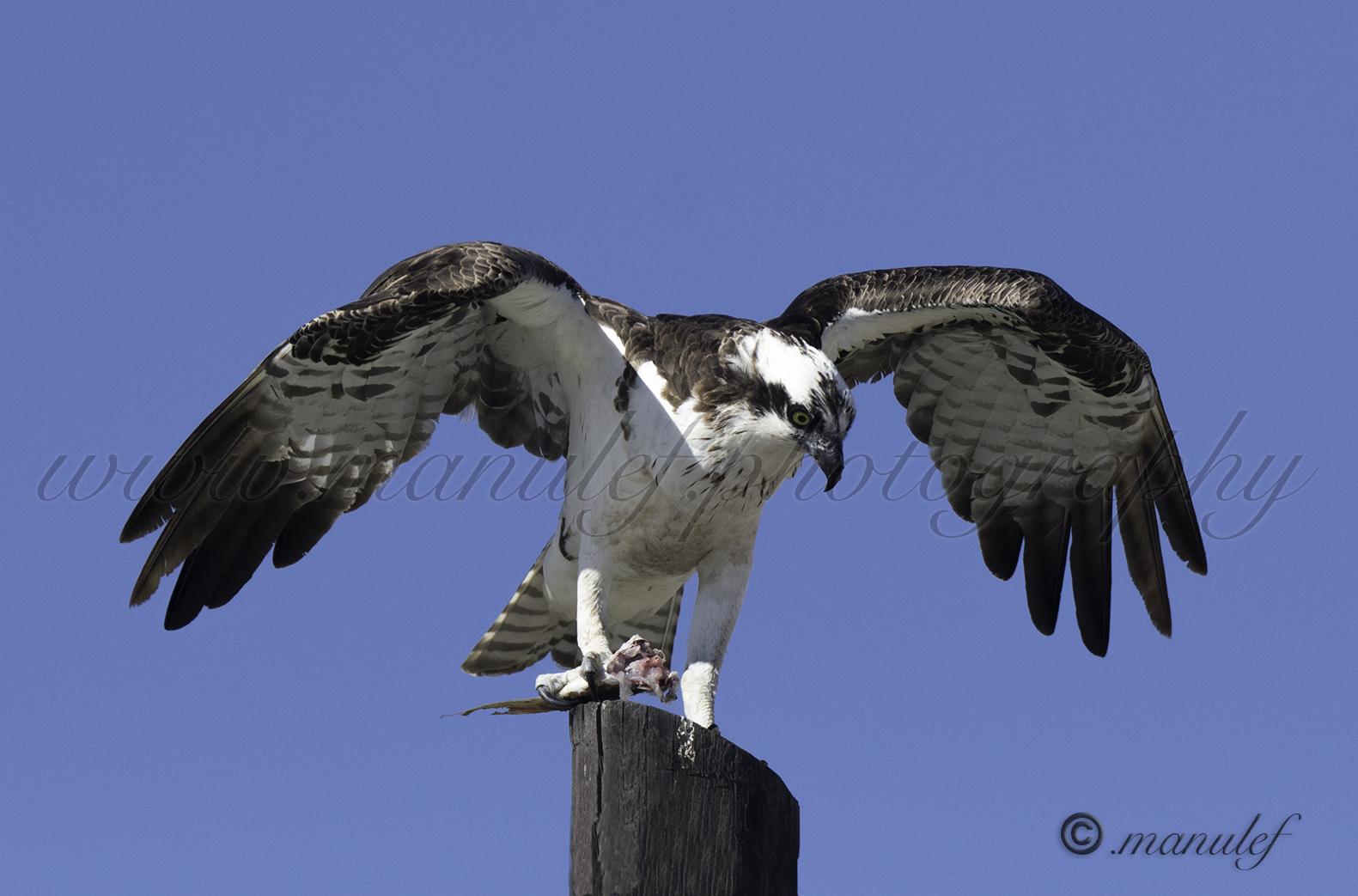 Osprey  089