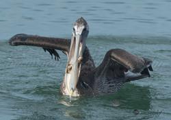 Pelican  059