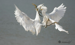 Snowy Egret  060