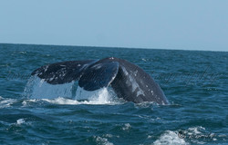 Whales  012