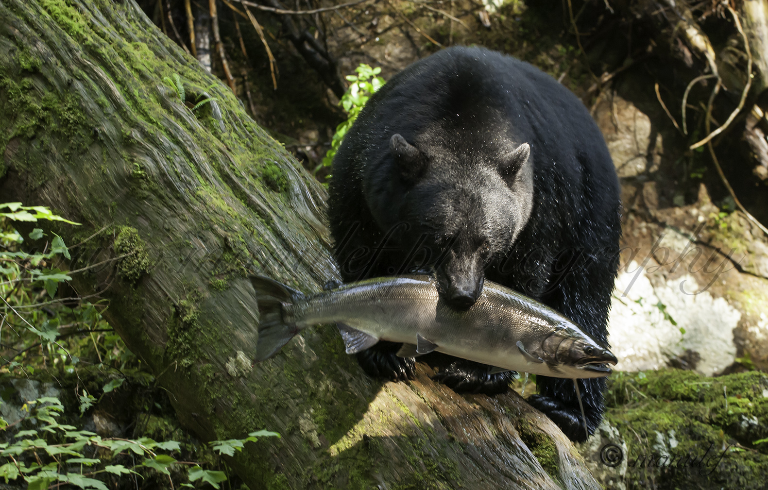 Black Bear  010
