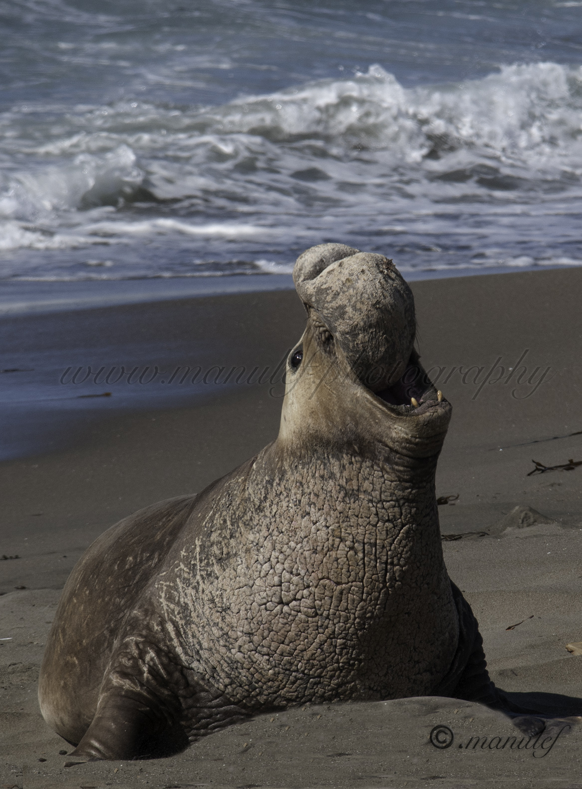 Elephant Seal  011