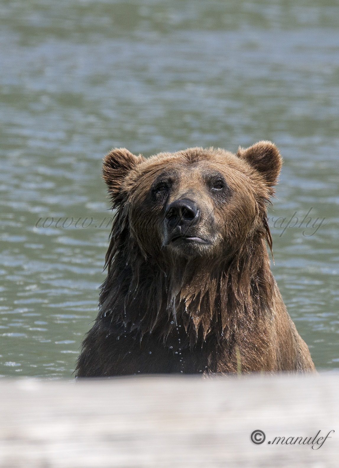 Brown Bear ( Grizzly )  018
