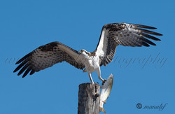 Osprey  045