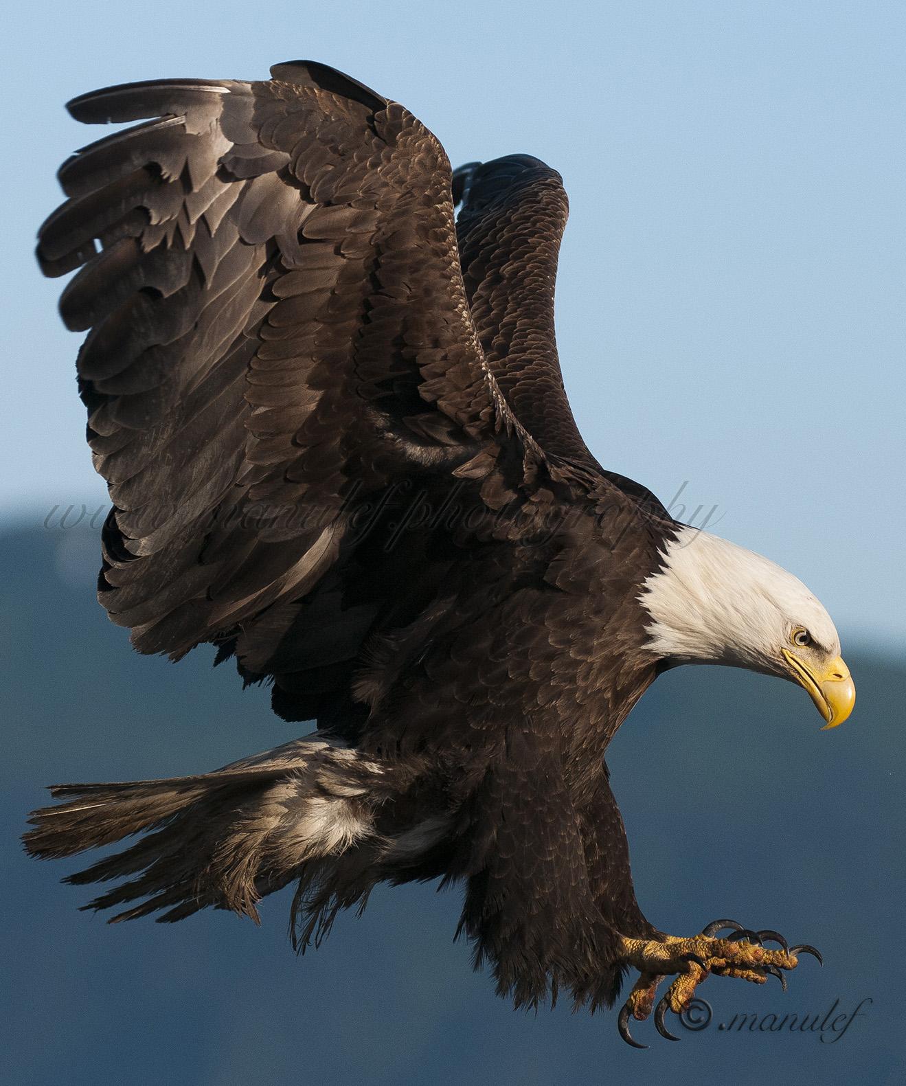 Bald Eagle  020