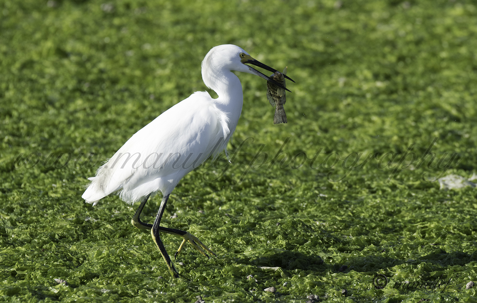 Snowy Egret  066