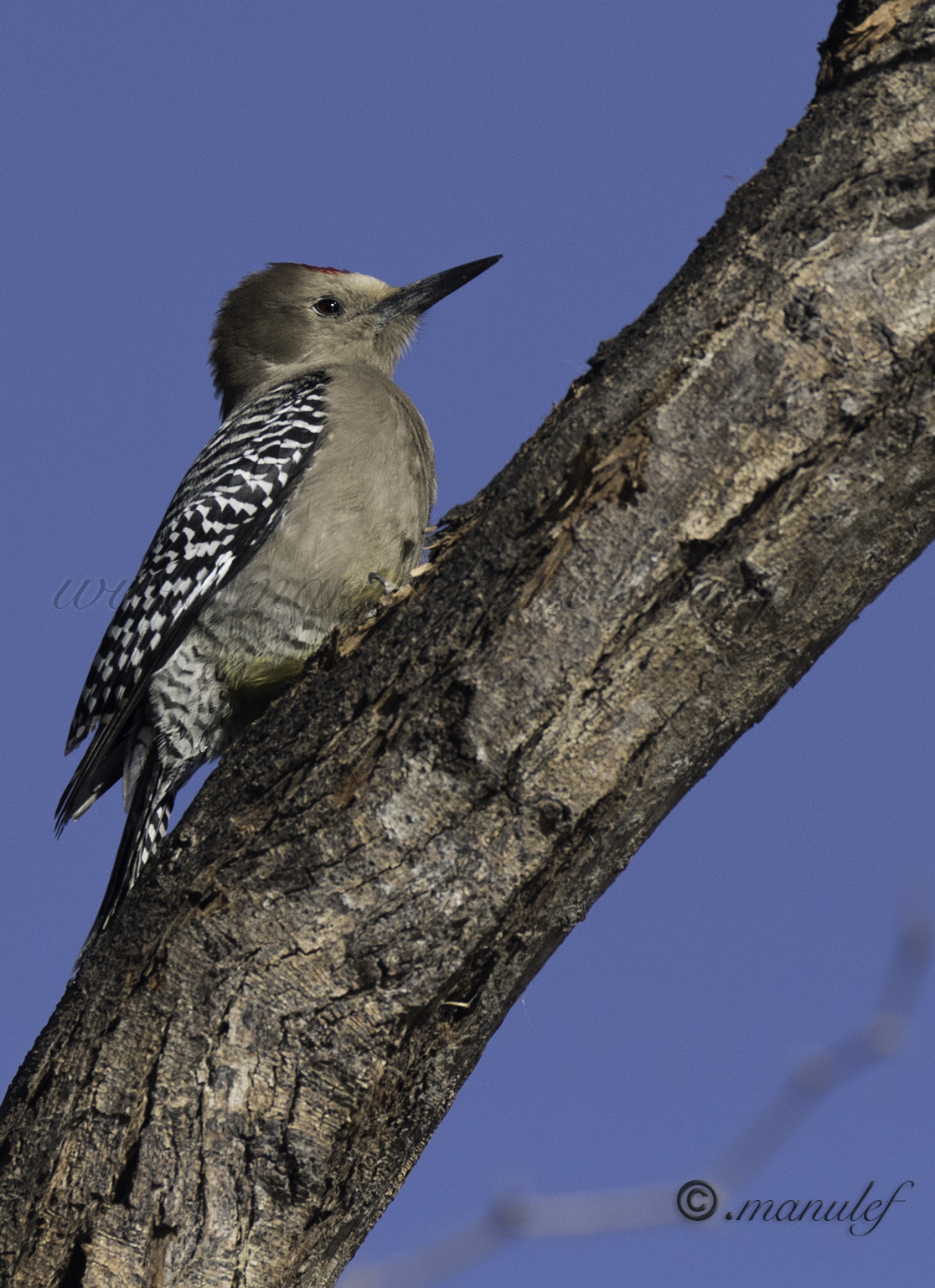 Gila Woodpecker  075