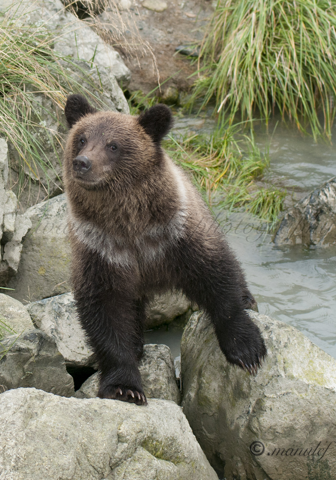 Brown Bear ( Grizzly )  013