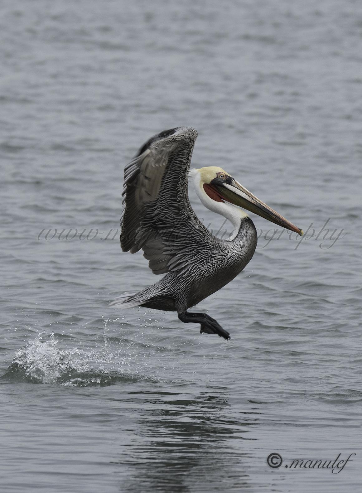Pelican  057