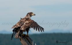 Bald Eagle  012