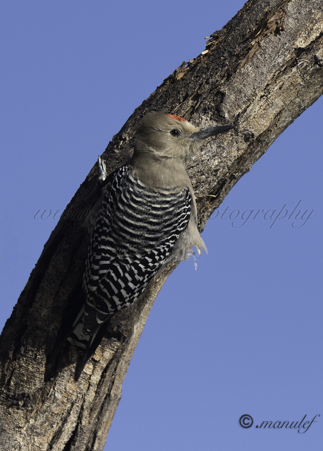 Gila Woodpecker  074