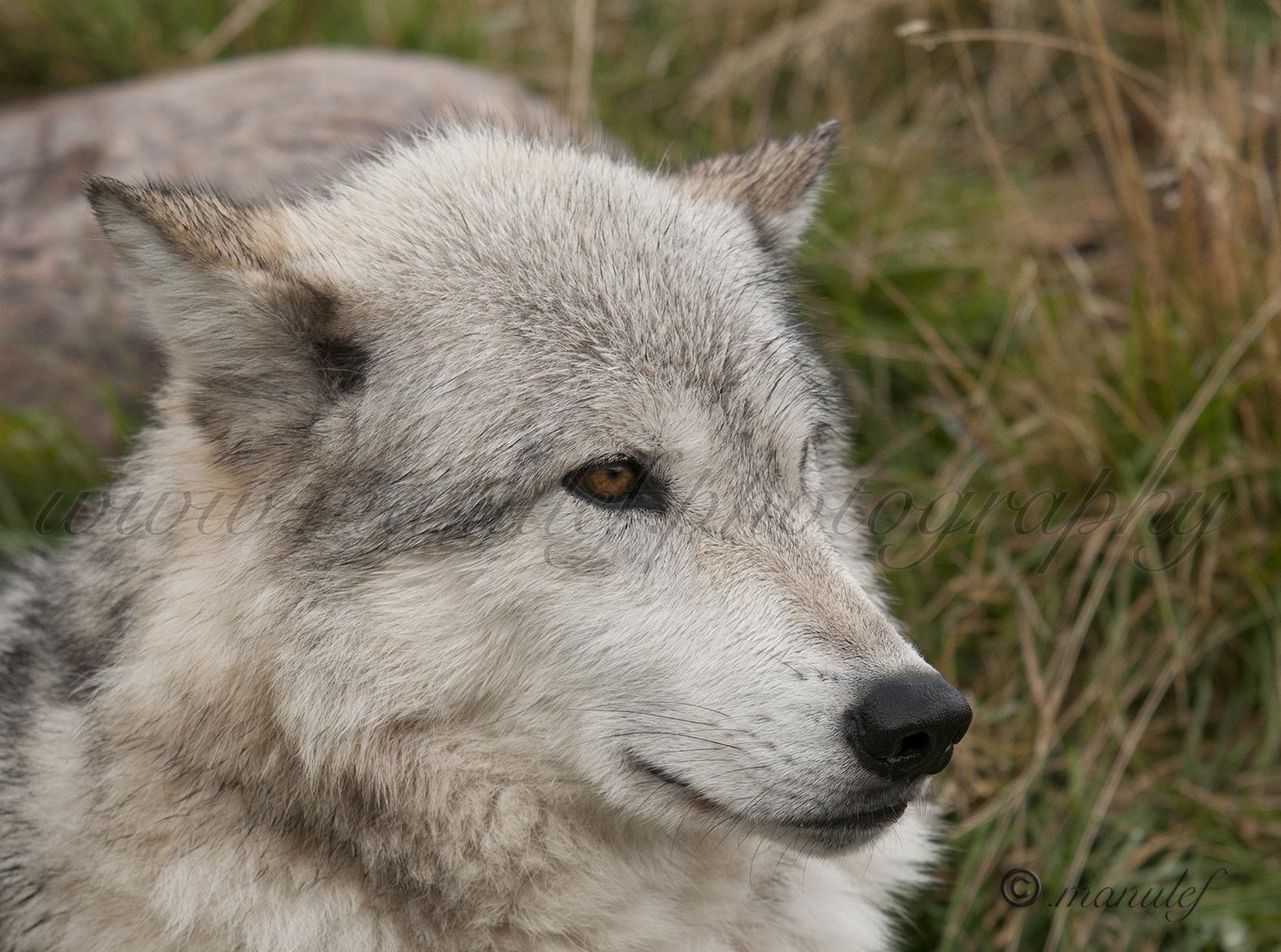 Wolf  011