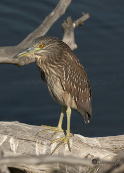 Green Heron  036