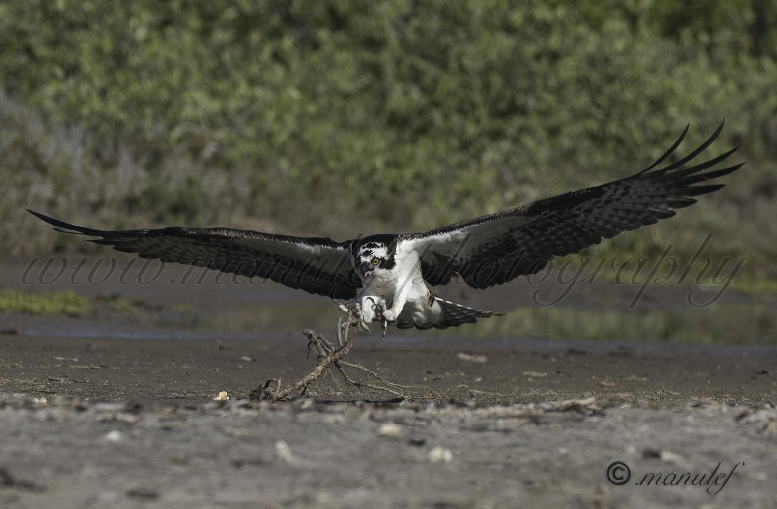 Osprey  093