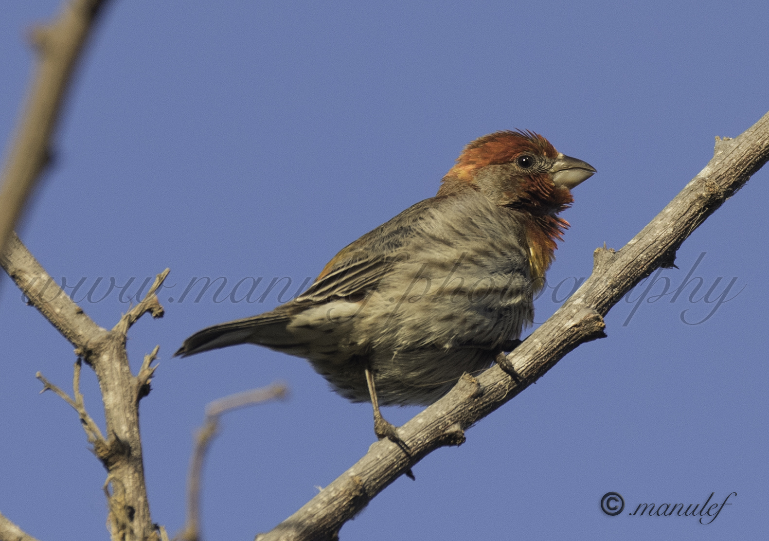 House Finch  078