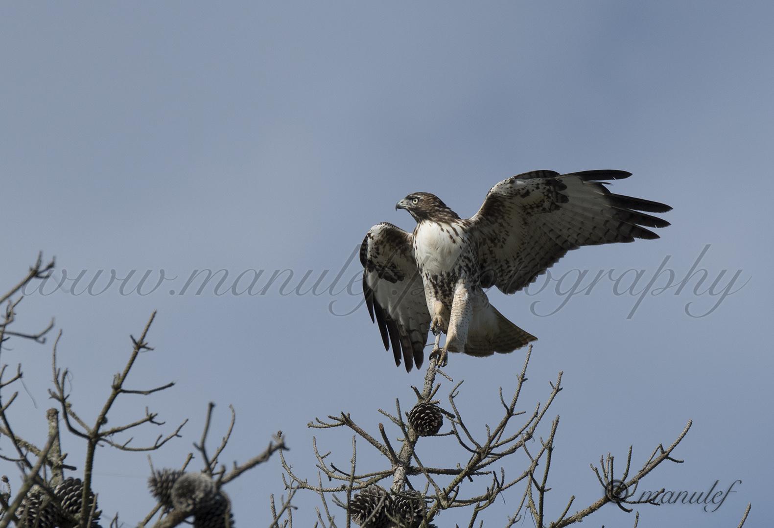 Prairie Falcon  059