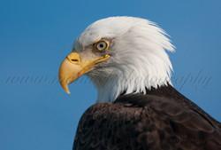 Bald Eagle  014