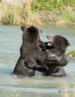 Brown Bear ( Grizzly )  019