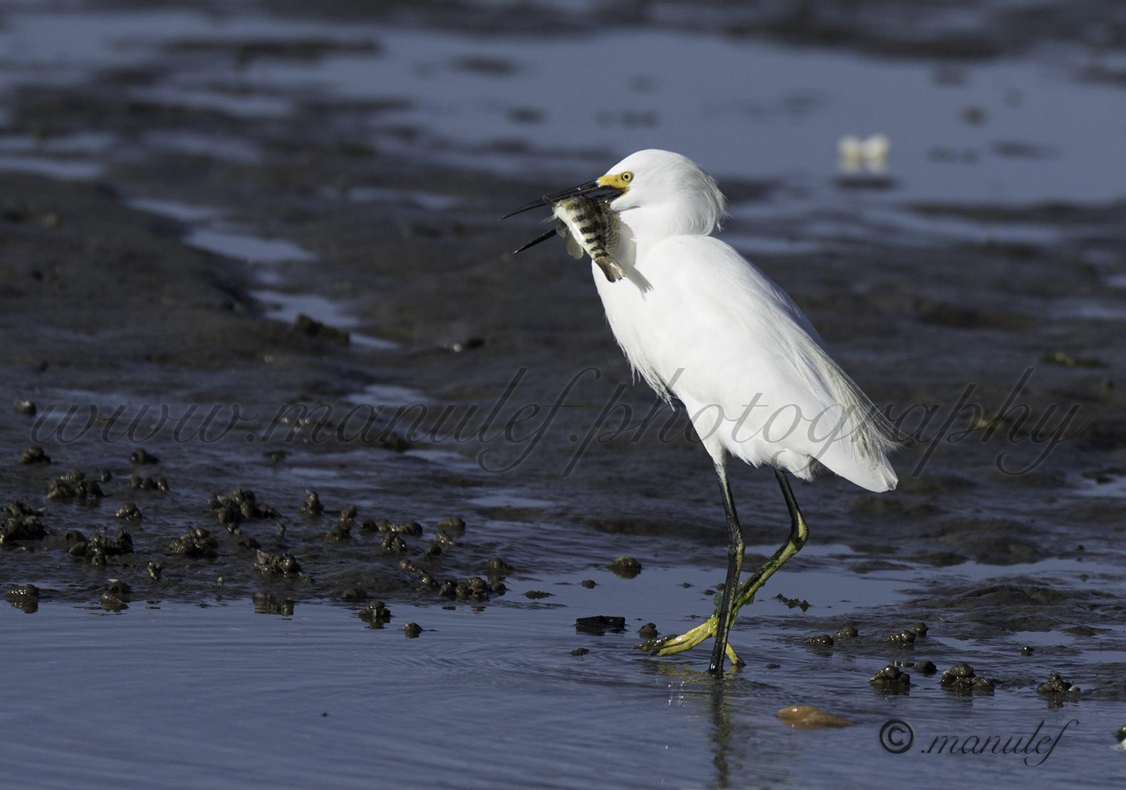 Snowy Egret  065