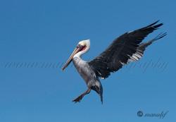 Pelican  052