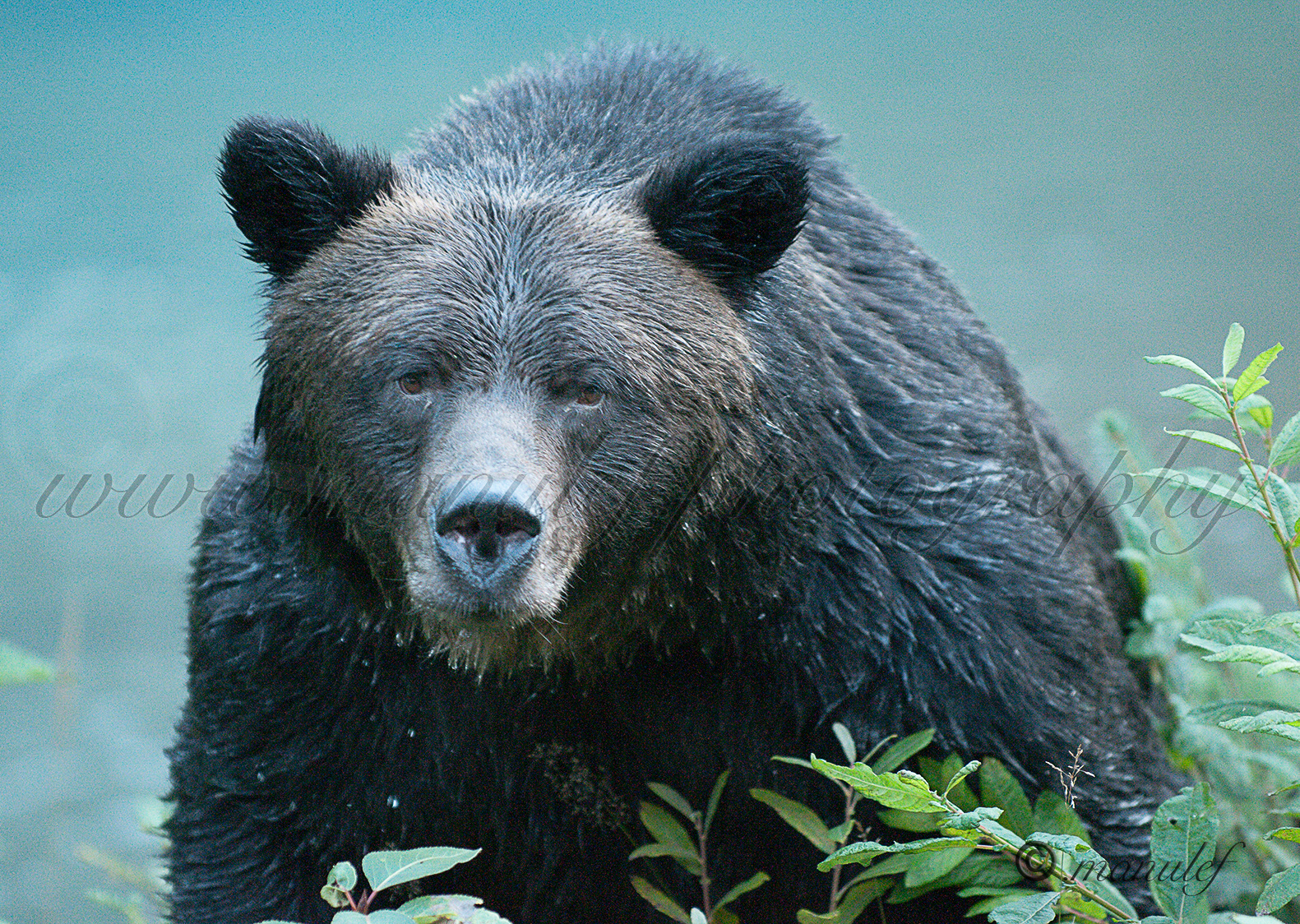 Brown Bear ( Grizzly )  014jpg