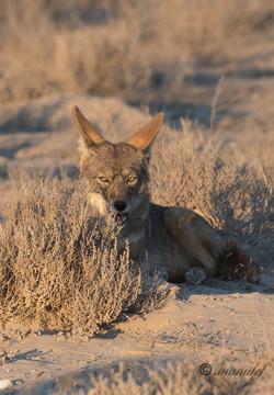 Coyote  014