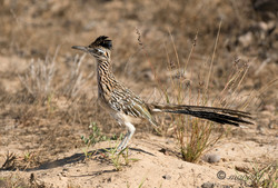 Greater Roadrunner  035