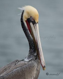 Pelican  056