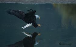 Bald Eagle  021